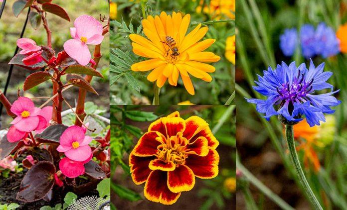 Especies Flores comestibles