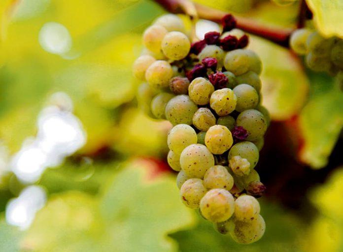 Los vinos dulces concentran los sabores de la uva que se recoge meses después de la primera vendimia. Protagonistas en Expovinos.