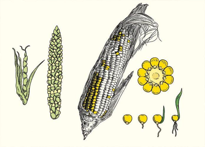 ¿Cuál es la historia de maíz?