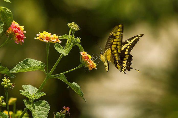 Al sembrar las plantas ideales, la llegada de las mariposas no da espera. Foto: cortesía Juan Esteban Arango.