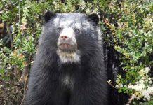 Oso de anteojos: El jardinero de los bosques