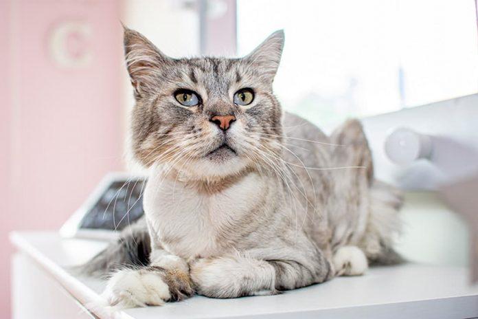El primer gato con marcapasos en Colombia