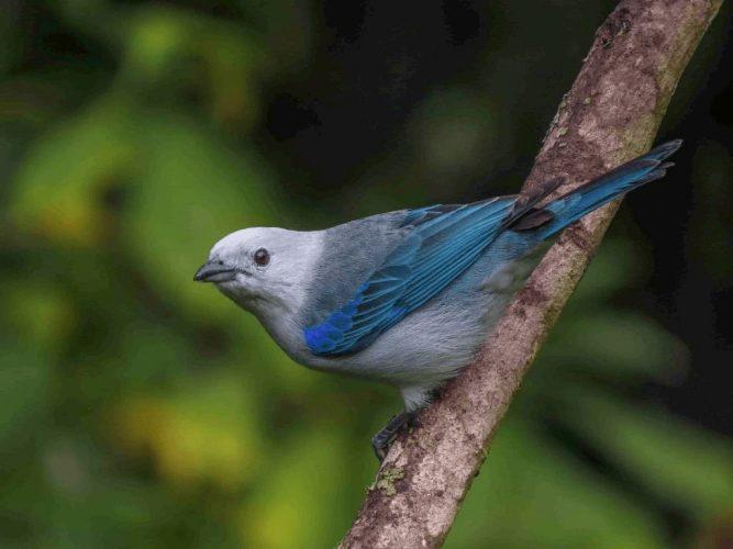 Azulejo-Thraupis-episcopus-Wilmer-Quiceno-min