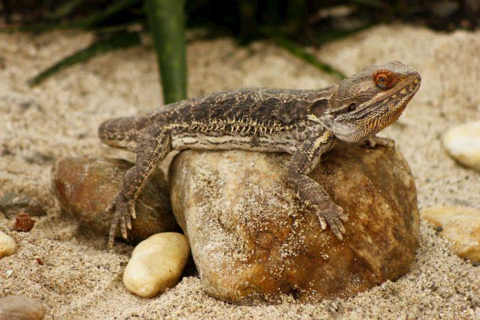 Sin el control adecuado, animales como el dragón barbudo pueden convertirse en invasores en nuestro entorno.