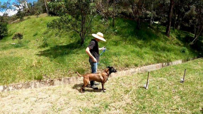 Perros entrenados para detectar COVID-19 a través de saliva humana