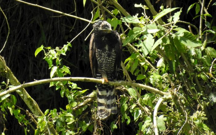 Águila Iguanera