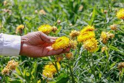 78 familias floricultoras podrán vender sus productos en línea