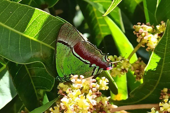 mariposa sedosa quétzal (Evenus regalis)