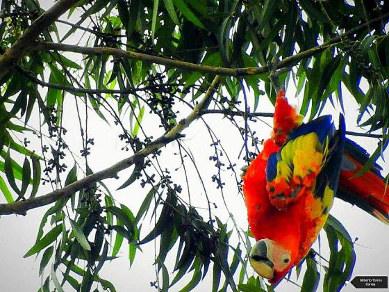 Volvieron las guacamayas a Medellin y el El Poblado
