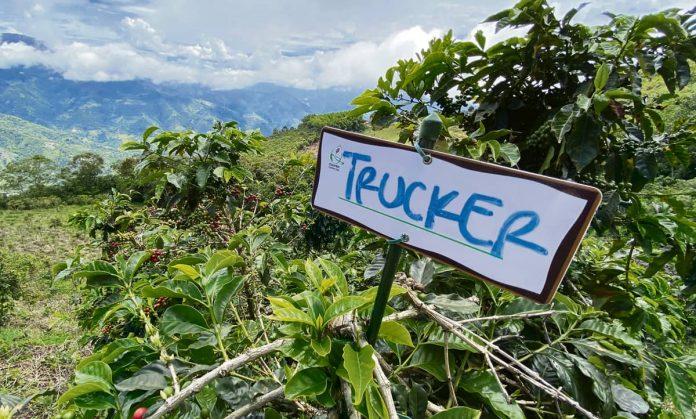 Colombia Coffee Tree Sea cafetero en la distancia