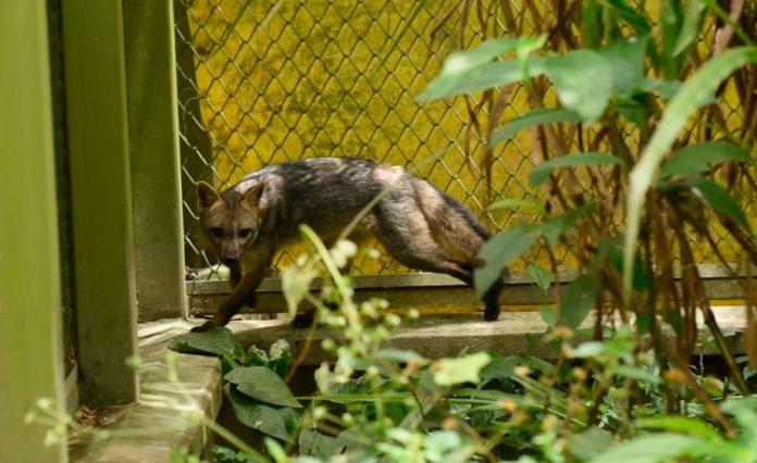 Zorro que fue atropellado vuelve a la libertad en zona protegida del municipio de Envigado