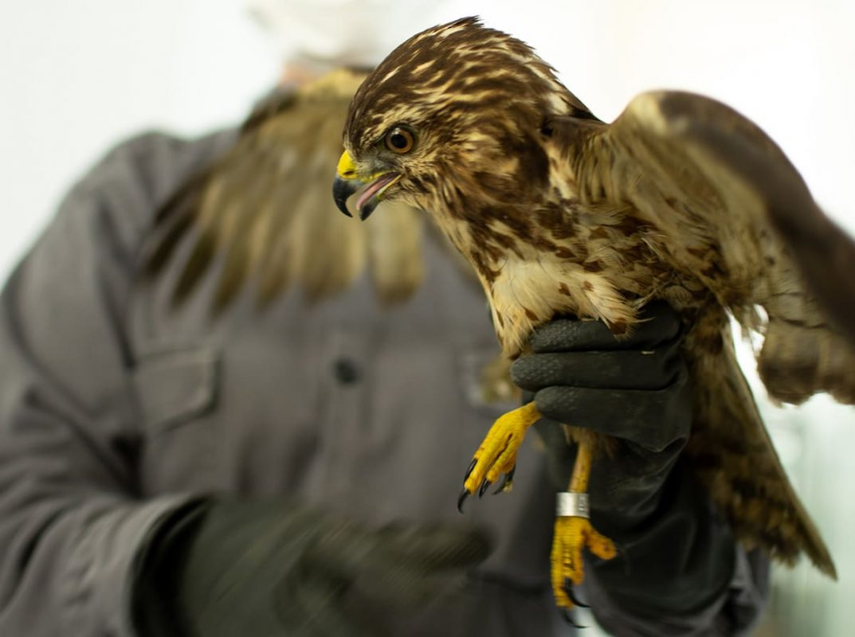Águila aliancha o gavilán aliancho (Buteo platypterus).  Foto cortesía Universidad CES.