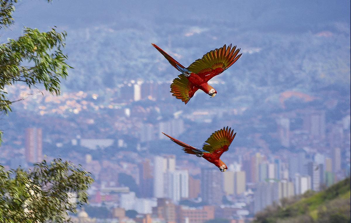 Guacamaya bandera (Ara macao). Foto Sebastián Herbiet.