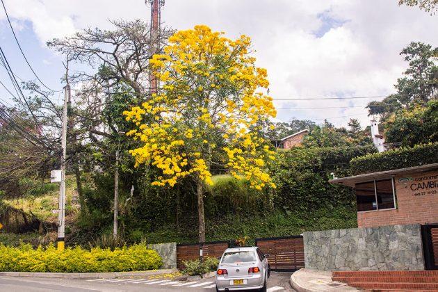 temporada de guayacanes en Medellín