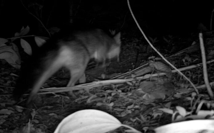 El zorro perro y la marmosa, nuevos vecinos en el humedal Ditaires de Itagüí