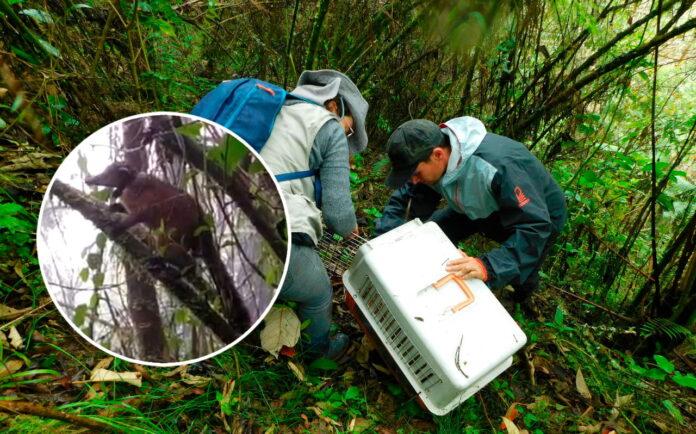 Coatí liberado en Jardín Antioquia, primero de su especie en ser monitoreado satelitalmente