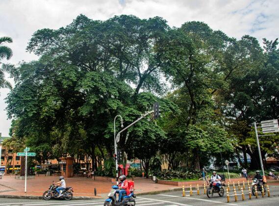 Carbonero zorro (Cojoba arborea), sembrado en 1960. Está en el Parque de El Poblado.