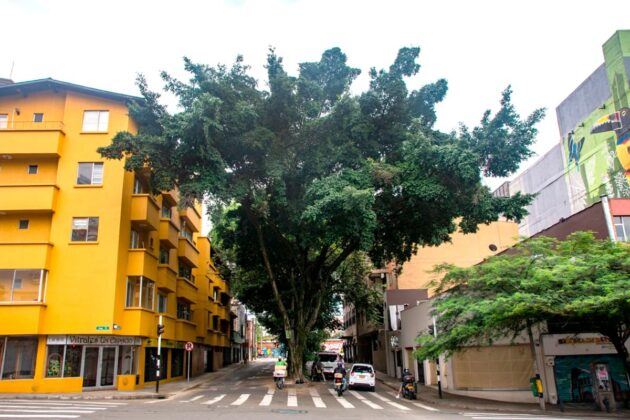 Ficus (Ficus Benjamina), sembrado en 1950. Está en el separador de la carrera 40, cerca de la calle 10.