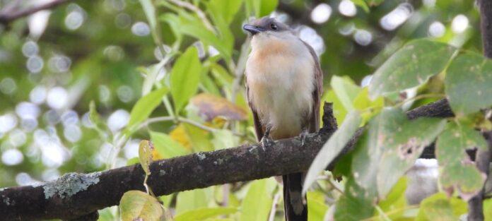 El cuclillo piquioscuro fue avistado en Medellín