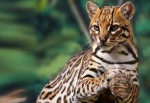 Quebradona protege el hábitat del tigrillo