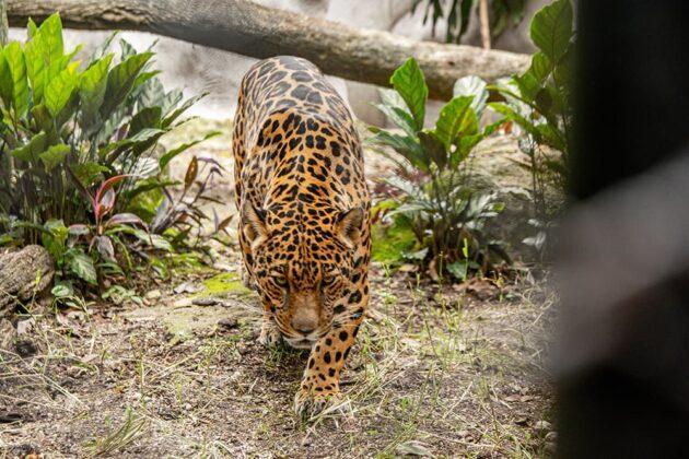 Una nueva casa para las jaguares
