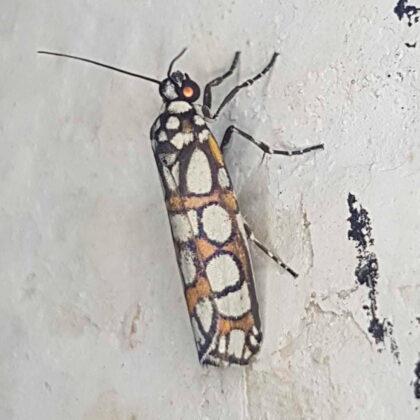 Cydosia nobilitella (Puerto Nare, Antioquia)