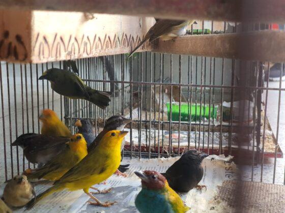 46 aves víctimas del tráfico de fauna silvestre ya están protegidas
