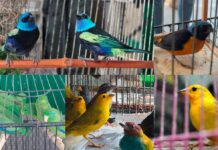 En Medellín rescataron 46 aves víctimas del tráfico de fauna silvestre