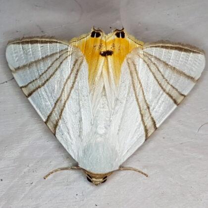 Eulepidotis geminata (Caldas, Antioquia)