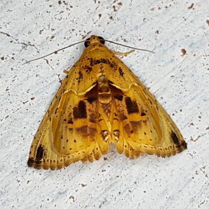 Eulepidotis metalligera (Puerto Nare, Antioquia)
