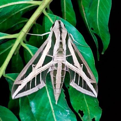 Eumorpha fasciatus (Puerto Nare, Antioquia)