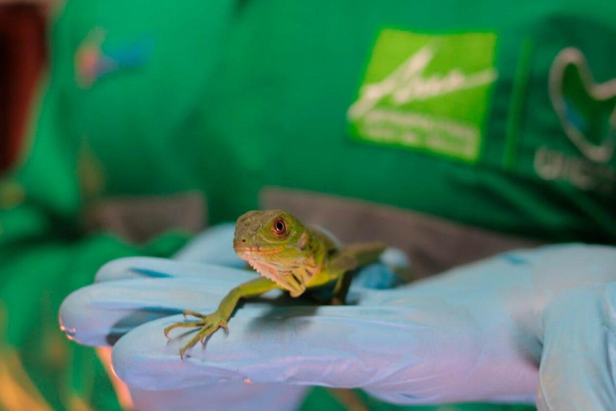 Iguanas y tortugas nacieron en una construcción en Medellín