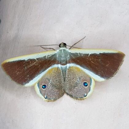 Opisthoxia eusiraria (San Rafael, Antioquia)