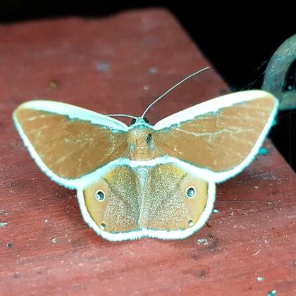 Opisthoxia eustyocharia (San Rafael, Antioquia)