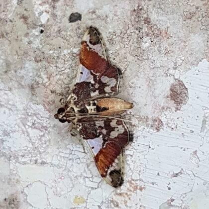 Syngamilyta pehlkei (Puerto Nare, Antioquia)