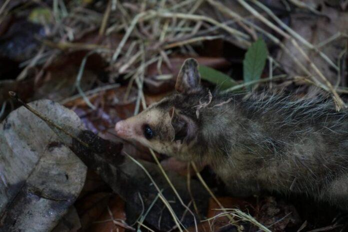 La zarigüeya, el individuo silvestre más avistado en el Valle de Aburrá