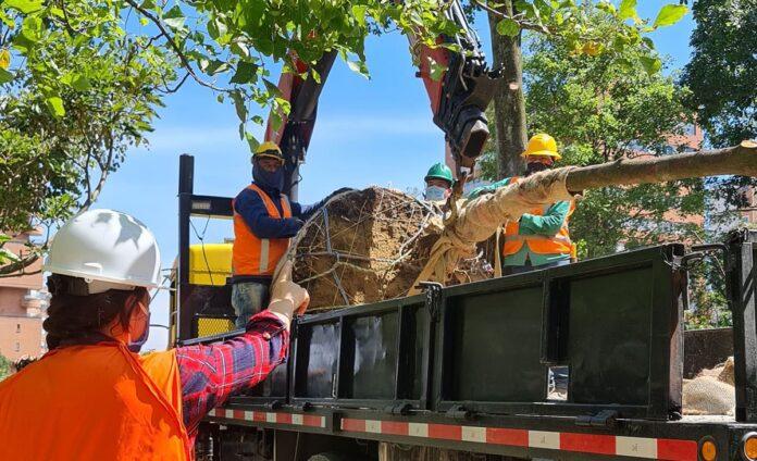Trasladan 98 árboles por obras de valorización en El Poblado