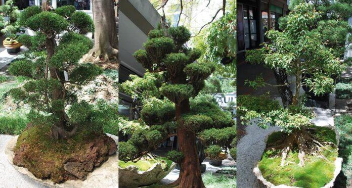 Exposición de bonsai que el Centro Comercial San Diego