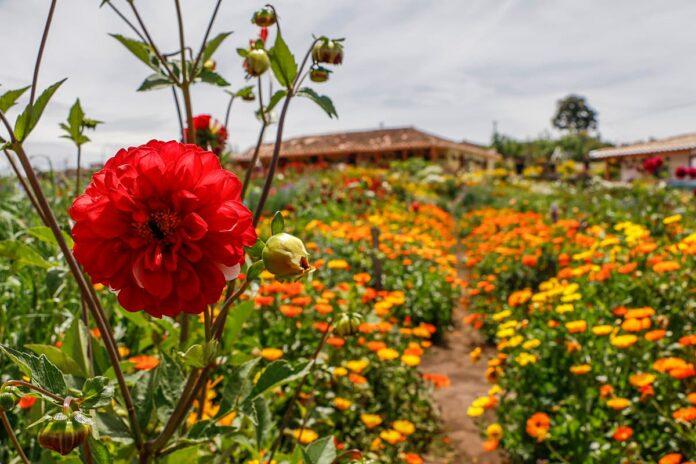 Feria de las Flores 2021 trae el Parche de las Flores y Fincas Culturales