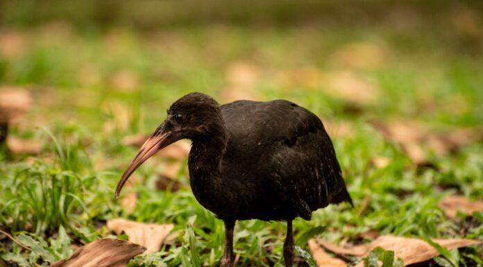 Las aves coquitos o ibis negros habitan en Medellín y el Valle de Aburrá