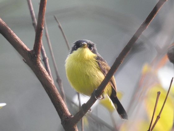 Especies de aves identificadas Magdalena Medio antioqueño