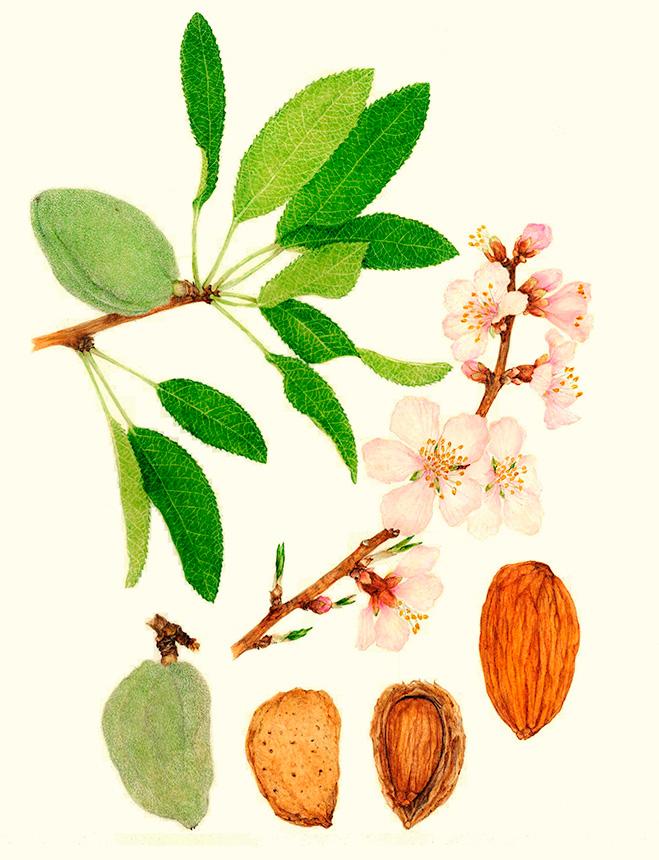 Las almendras son muy nutritivas. Aportan vitaminas como B1, B2, B3, B5, B6, B9 y E; y minerales como hierro, magnesio, fósforo, potasio y zinc.