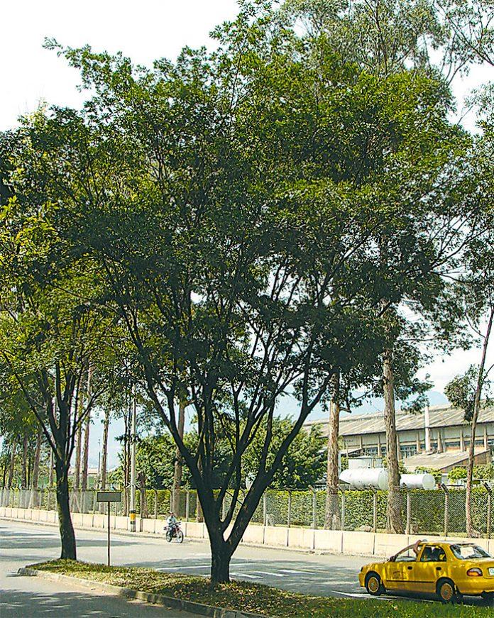 Suribio - Árboles de El Poblado